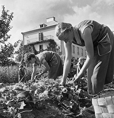 Keski-Suomen kotitalousopettajaopiston oppilaita keräämässä avomaakurkkuja 1950-luvulla. Kuva: Kauko Kippo / Keski-Suomen museo.