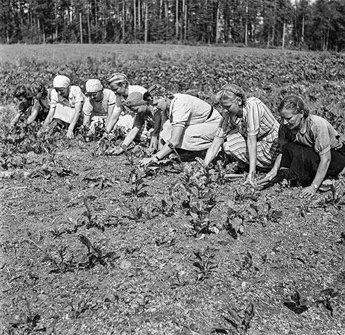 Maatalouskerholaiset harventamassa kasvimaata Jyväskylässä 1940-luvulla. Kuva: Antti Pänkäläinen / Keski-Suomen museo.