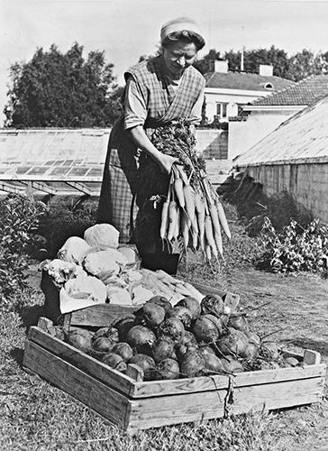 Schaumannin puutarhan porkkana-, kaali- ja punajuurisatoa 1950-luvulla. Kuva: Keski-Suomen museo.