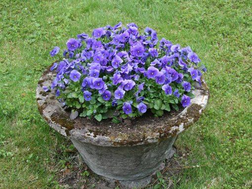 Mirjan puutarha: kasveja ja muistoja vuosien takaa