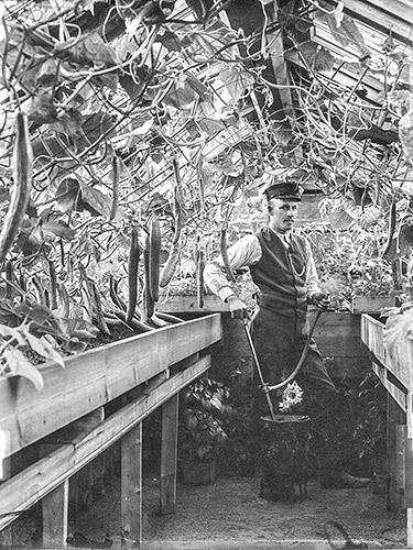 Kasvihuoneissa kasvatettiin muun muassa kurkkuja. Kuva: Keski-Suomen museo.